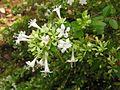 Abelia chinensis var. ionandra 1.JPG