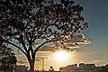 Aberta a temporada de ipês roxos em Brasília (41030200730).jpg