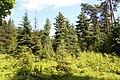 Abies lasiocarpa Rogów 2.JPG