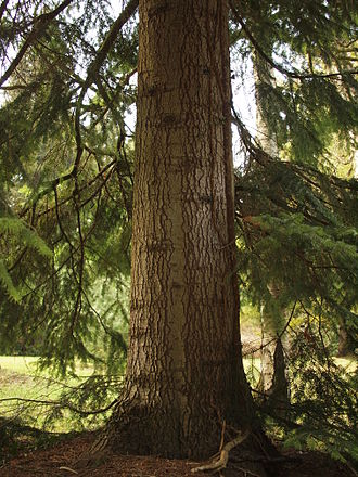 Abies nordmanniana - Nordmann fir bark and trunk in Munich botanical garden