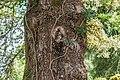 Abies pinsapo in La Jaysinia.jpg