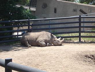 Abilene Zoological Gardens - One of Abilene's two black rhinos