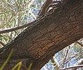 Acacia-aneura-bark3.jpg