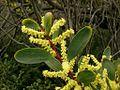 Acacia longifolia subsp. sophorae - 'Coastal Wattle'.jpg