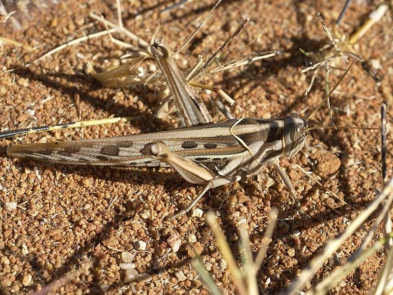 File:Acanthacris ruficornis ruficornis.jpg
