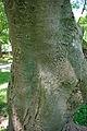 Acer diabolicum bark.jpg