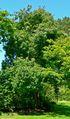 Acer laevigatum 2.jpg