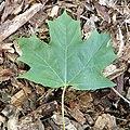 Acer saccharum (sugar maple) 4 (45605809964).jpg