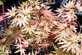 Acer shirasawanum Autumn Moon 0zz.jpg