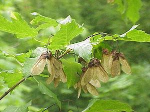 Acer tataricum - Foliage and fruit