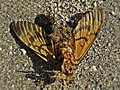 Acherontia atropos (Sphingidae) (Death's Head Hawkmoth) - (imago), Sardegna, Italy.jpg