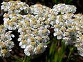 Achillea millefolium (3287847502).jpg