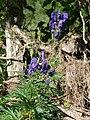 Aconitum napellus fruit (02).jpg
