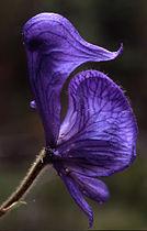 Aconitumcolumbianum.jpg