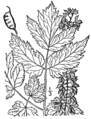 Actaea podocarpa drawing.png