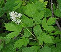 Actaea spicata RF.jpg