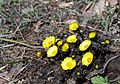 Adonis amurensis at Anguksaji temple site in Dangjin, Korea.jpg