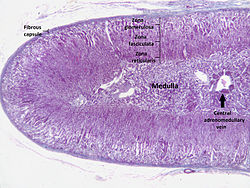 Adrenal cortex labelled.jpg