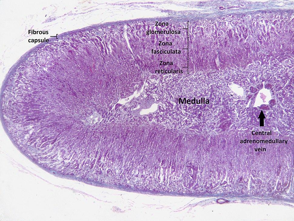 Adrenal cortex labelled