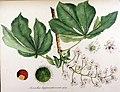 Aesculus hippocastanum — Flora Batava — Volume v12.jpg