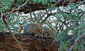 African Wild Cat (Felis lybica) (6549472015).jpg