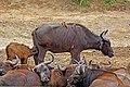 African buffalo (Syncerus caffer) calf 2 weeks suckling.jpg