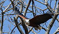African fish eagle, Haliaeetus vocifer, at Lake Chivero, Harare, Zimbabwe (21908295256).jpg
