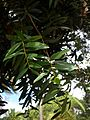 Agathis robusta (Brisbane City BG).jpg