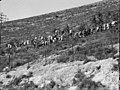 Agriculture, etc. Government reforestation near Bab el Wad. Labourers planting trees LOC matpc.15613.jpg