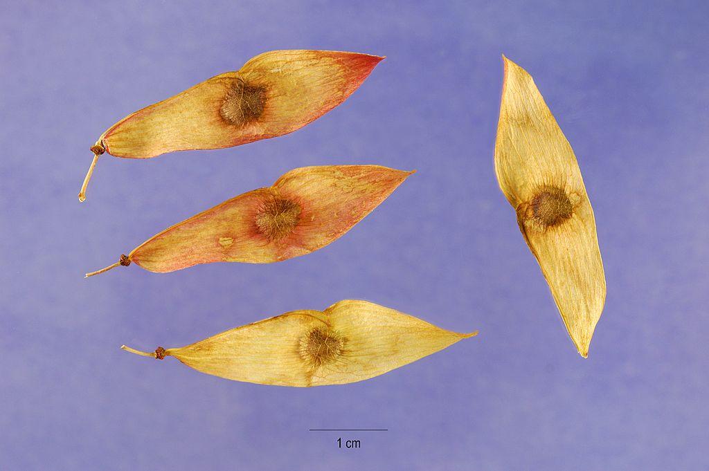 Pajaseň žliazkatý - semená