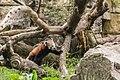 Ailurus fulgens (Panda roux) - 127.jpg