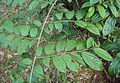 Alangium salviifolium leaves 13.JPG