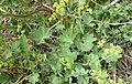 Alchemilla monticola plant (09).jpg