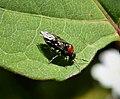 Alder SawflyAlder Sawfly Eriocampa ovata Eriocampa ovata poss (3) (25497944848).jpg
