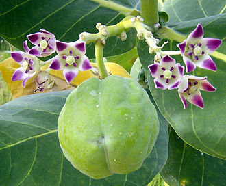 Calotropis procera - Flower and fruit
