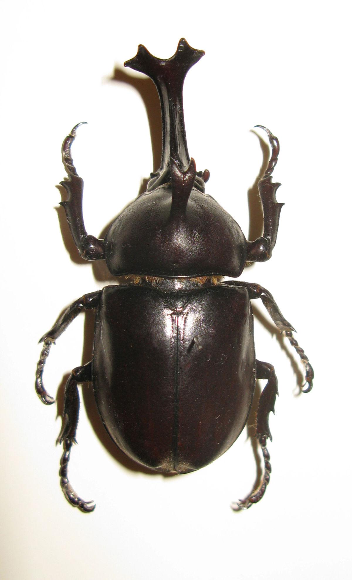 Beetle For Sale >> Allomyrina dichotoma — Wikipédia