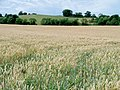 Almost ready to reap - geograph.org.uk - 1983728.jpg