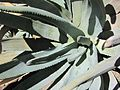 Aloe suzannae (7996910622).jpg