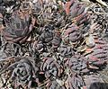 Aloebrevifolia.JPG