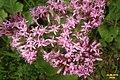 Alpine flora (Gru) (31136087944).jpg