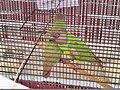 Alva's Nudisiri bird show 2.jpg