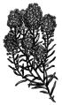 Alyssum (PSF).png