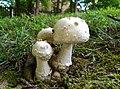Amanita canescens Dav. T. Jenkins 645392.jpg