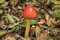 Amanita hemibapha 26.jpg