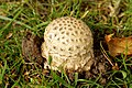 Amanita muscaria (36894727663).jpg