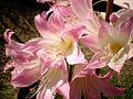 Amaryllis belladonna 3c.JPG
