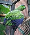 Amazona festiva -Loro Parque-4c