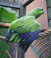 Amazona festiva -Loro Parque-4c.JPG