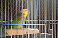 Amazona oratrix - Cougar Mountain Zoological Park-6a.jpg