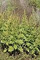 Ambrosia confertiflora – flowering plants.jpg